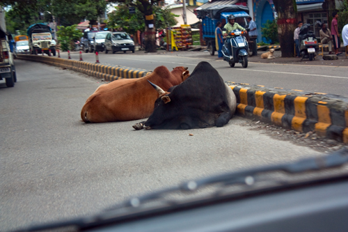 Scared cows in India